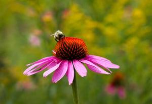échinacée abeille (2)