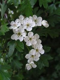 Common_hawthorn_flowers