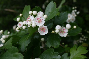Crataegus-oxyacantha-flowers-1