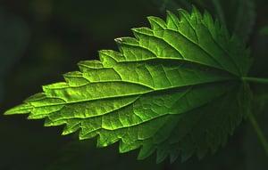 Plant-Stinging-Nettle-Leaf-Nettle-Leaf-Nettle-2830739