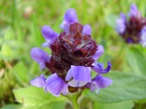 Prunella_vulgaris