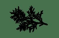 Thuya 2 N