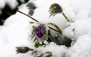 anémone pulsatille neige