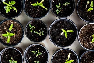semis en pots